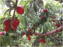 Fruta madura de calidad