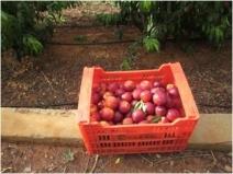 Fruta madura de calidad II