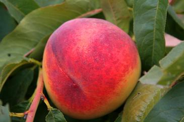 El objetivo es mejorar la sostenibilidad y la calidad de la producción de fruta con hueso
